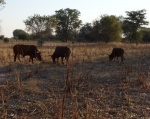 Cattle in the mahangu field